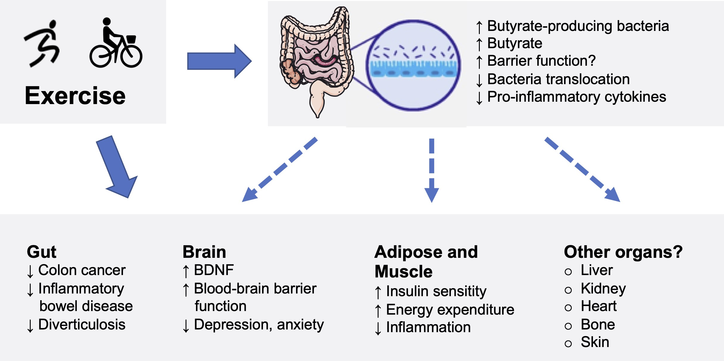 Figure. Changes in the gut microbiota and intestinal epithelium through exercise and health benefits. BDNF: Brain-derived neurotrophic factor (growth factor).